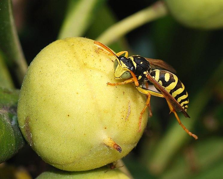 самец бумажной осы