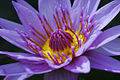 Water Lilly (20289704).jpg