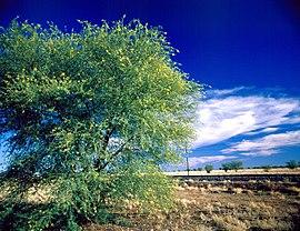 árvore acácia manchado com delicadas flores amarelas perto de Richmond, Queensland, 1985.jpg
