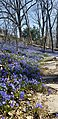 WaveHill-Spring-Chionodoxa.jpg