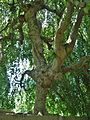 Weeping European Beech Tree in Mount Auburn Cemetery, Cambridge-Watertown, MA - 8-1-2015.jpg
