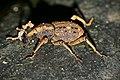 Weevil (Sipalinus gigas) (23566135570).jpg