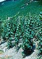"""Wehlen - """"Sonnenuhr"""" Vineyard in Mosel Valley.jpg"""