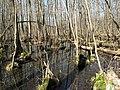 Weisser See (Buckow) Bruchwald 01.jpg