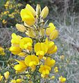 Whin, Gorse or Furze flowers at Barrmill.JPG