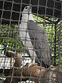White-bellied Sea Eagle - Haliaeetus leucogaster - Ninoy Aquino Parks & Wildlife Center 04.jpg
