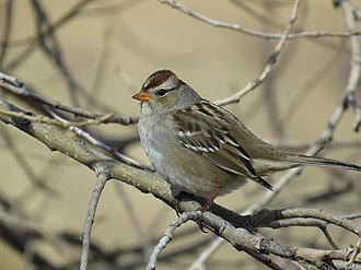 White-crowned sparrow - Image: White crowned Sparrow (3)