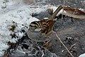 White-throated Sparrow (Zonotrichia albicollis) - Cambridge, Ontario 2019-02-09 (03).jpg