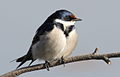 White-throated Swallow, Hirundo albigularis at Marievale Nature Reserve, Gauteng, South Africa (9700139981).jpg
