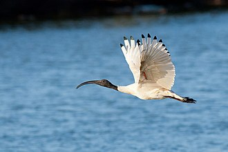 Australian white ibis - In flight, red skin visible under wings