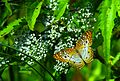 White Peacock Butterfly at Lake Woodruff - Flickr - Andrea Westmoreland.jpg