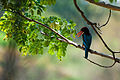 White Throat Kingfisher - 1.jpg