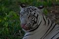 White Tiger at Arignar Anna Zoological Park (Vandalur Zoo)(2).jpg