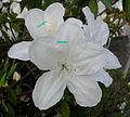 White azalea.jpg