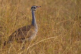 White bellied bustard.jpg