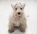 White but dirty minischnauzer puppy.jpg
