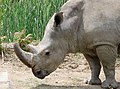 White rhinoceros head - Sofia zoo.jpg