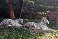 White tigers at IGZoo park 01.jpg