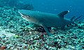 Whitetip Reef Shark (Triaenodon obesus) (6135749402).jpg