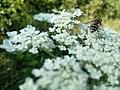 Wild Bee On A Heracleum (223321525).jpeg