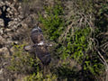 Wild Bonelli's Eagle in flight.jpg