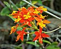 Wild Orchids. Reed-stemmed Epidendrum . Epidendrum radicans - Flickr - gailhampshire.jpg
