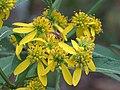 Wingstem Verbesina alternifolia.jpg