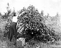 Woman picking winesap apples from tree bending towards earth due to weight of its fruit, Yakima Valley, ca 1910s (INDOCC 1358).jpg