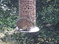 Wood mouse in our garden - geograph.org.uk - 670964.jpg