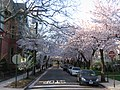 Wooster square cherry trees.jpg