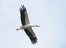 White bird with black flight feathers, long legs and a long neck soars against a hazy blue sky.