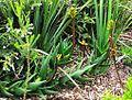 X Aloe commixta in Kirstenbosch fynbos rocky scrub 2.jpg