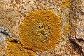 Xanthoria calcicola 79086941.jpg