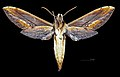 Xylophanes pyrrhus MHNT CUT 2010 0 149 Limbo, Chapare Cochabamba female ventral.jpg