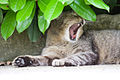 Yawning cat (2545288946).jpg