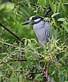 Yellow-crowned Night-Heron (cropping-lightening) (31692583263).jpg