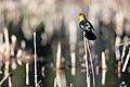 Yellow-headed blackbird - Xanthocephalus xanthocephalus (7c3d884e-eb1b-4269-a8cf-29bf15368b2f).jpg