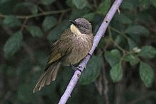Yellow-throated leaflove (Atimastillas flavicollis flavigula).jpg