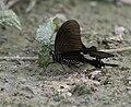 Yellow Helen Papilio nephelus at Jayanti, Duars, West Bengal W IMG 5602.jpg