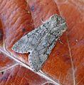 Yellow Horned. Achlya flavicornis delbanus. Thyatiridae. - Flickr - gailhampshire (2).jpg