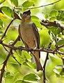 Yellow Throated Sparrow Gymnoris xanthocollis by Dr. Raju Kasambe DSCN0185 (1).jpg