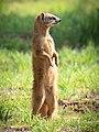 Yellow mongoose (Cynictis penicillata) 2.jpg