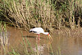 Yellowbilled Stork 2393413262.jpg