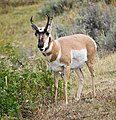 Yellowstone Pronghorn.jpg