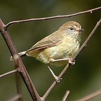 Yellowthornbill