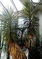 Yucca aloifolia - Palmengarten Frankfurt.jpg