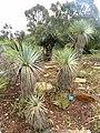 Yucca rostrata - Jardin d'oiseaux tropicaux - DSC04891.JPG