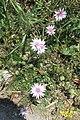 Zakynthos flora (35742134021).jpg