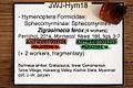 Zigrasimecia ferox JWJ-Bu18a and JWJ-Bu18b with tag.jpg