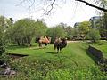 Zoo Koeln Kamelpark Camelus ferus.jpg